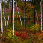 Birch trees in front of a body of water.